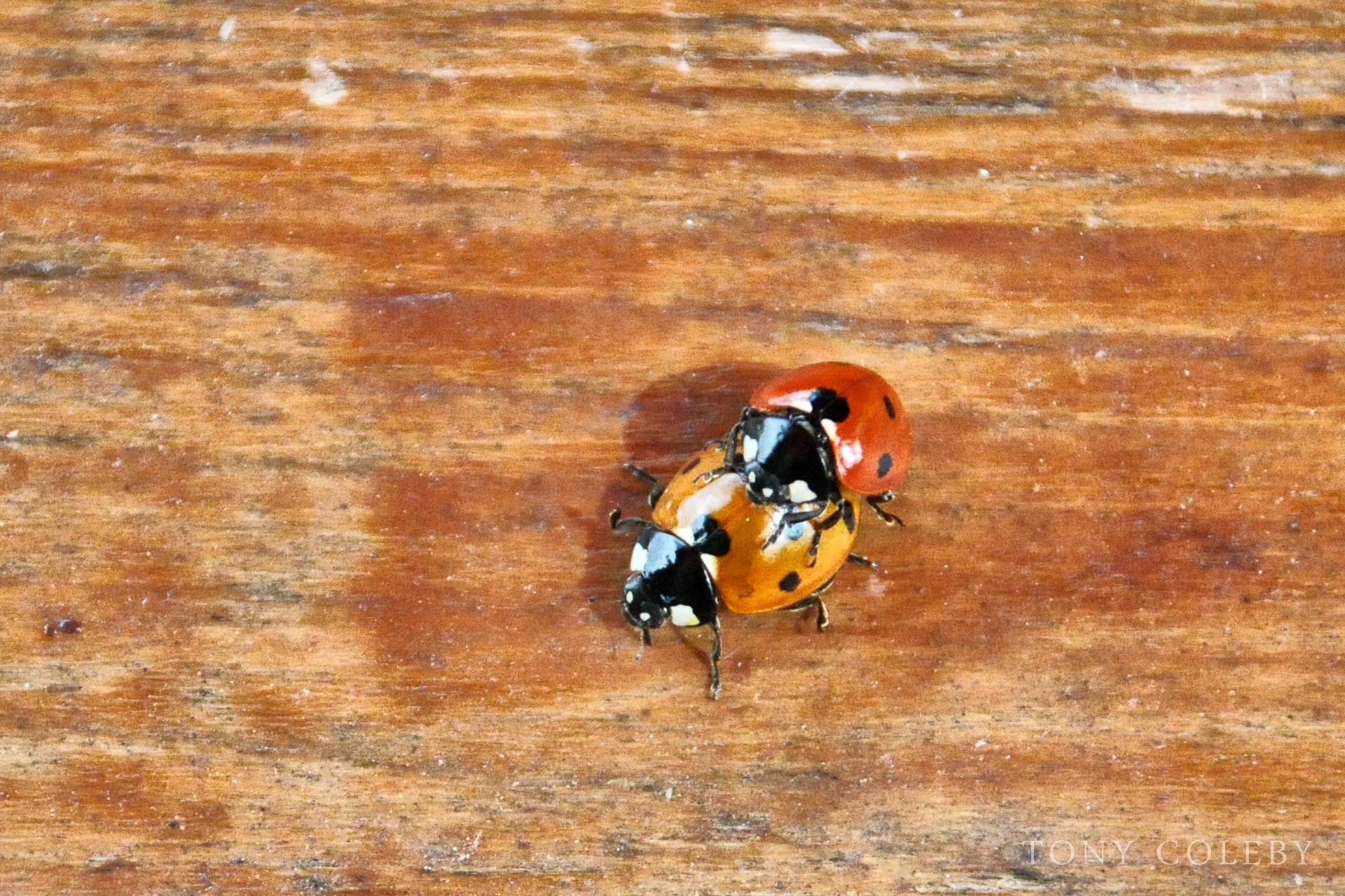 Coccinella septempunctata, the seven-spot ladybird reproducing